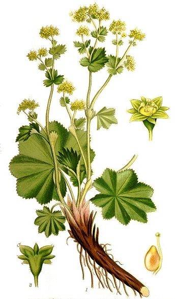 96r-alchemilla-vulgaris_syberianhealth