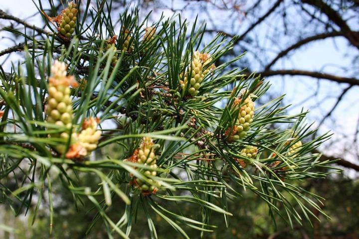 conifer-1631841_960_720.jpg