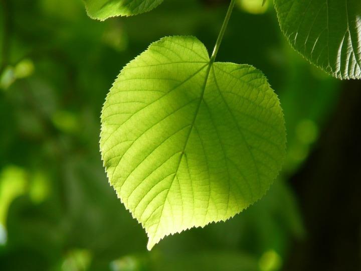 leaf-55859_960_720.jpg