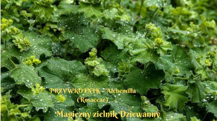 Magiczny zielnik Dziewanny.png