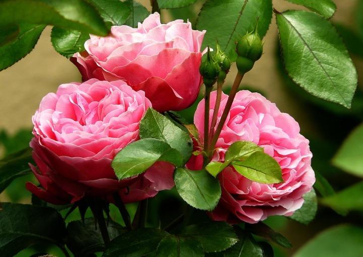 roses-279583_960_720.jpg
