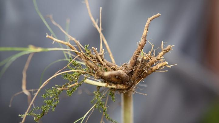 valeriana-officinalis-root-4511906_960_720.jpg
