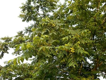 walnut-trees-374742__340.jpg
