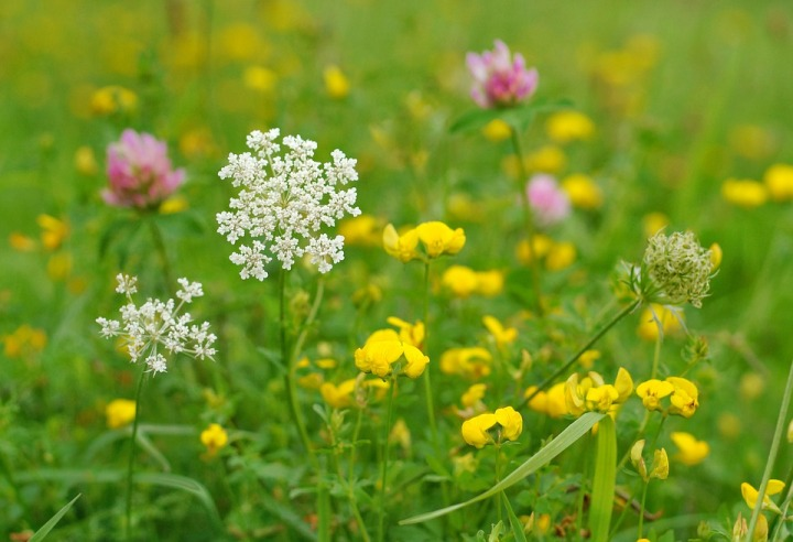 wild-flowers-4571294_960_720.jpg