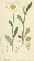 137px-Chrysanthemum_leucanthemum.jpg