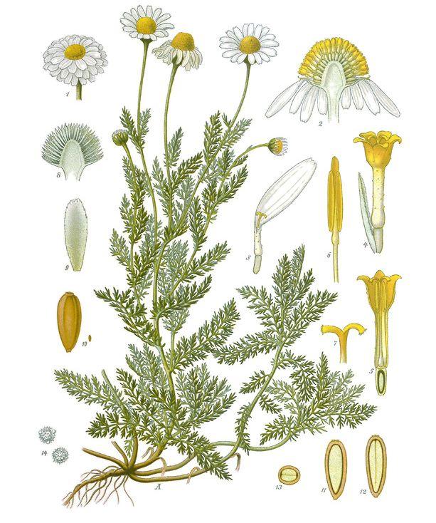 Chamaemelum_nobile_-_Köhler–s_Medizinal-Pflanzen-012.jpg