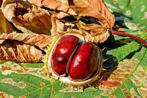 chestnut-2740751__340.png