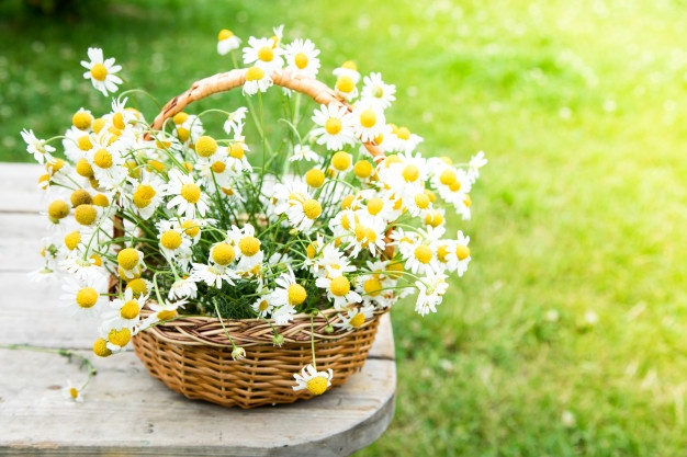 daisy-kwitnie-w-koszu-kosz-z-rumiankiem-w-ogrodzie_80373-760.jpg