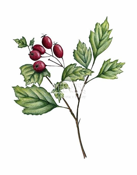 glog-jednoszyjkowy-crataegus-monogyna-krzew-lisciasty.jpg