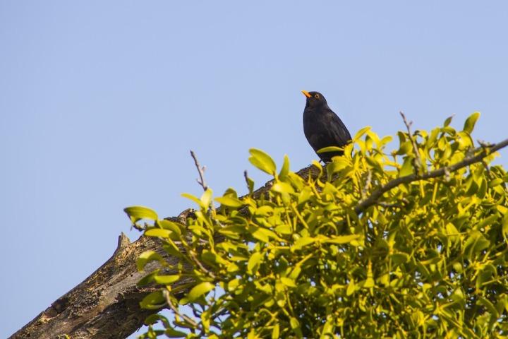 blackbird-3321951_960_720.jpg
