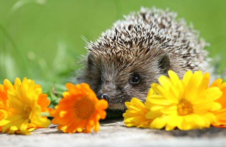 hedgehog-1537791_1920.jpg