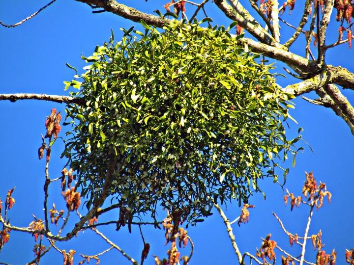 mistletoe-2684556_1920.jpg