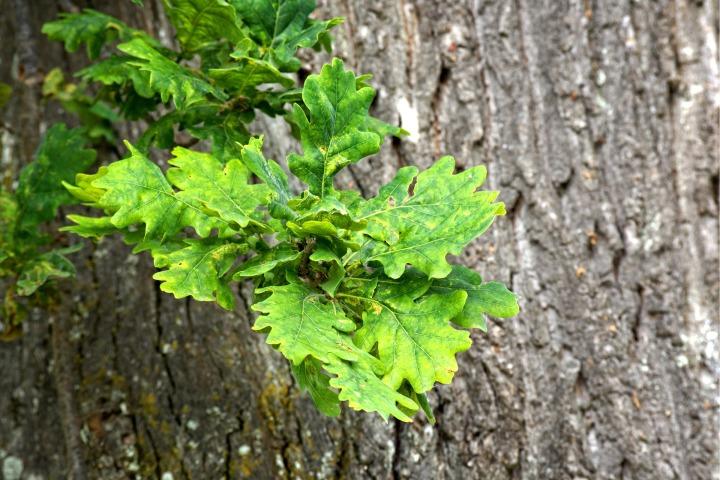 oak-leaves-1450553_1920.jpg