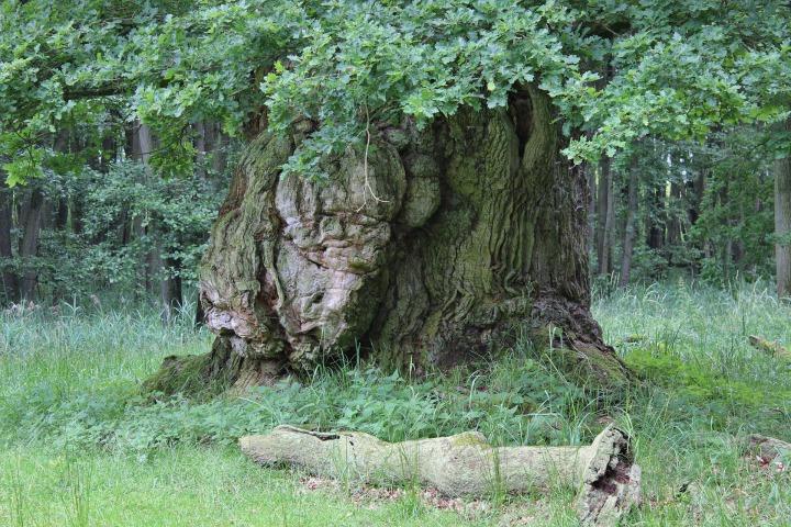 old-oak-396389_1920.jpg