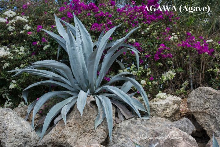 AGAWA (Agave).png