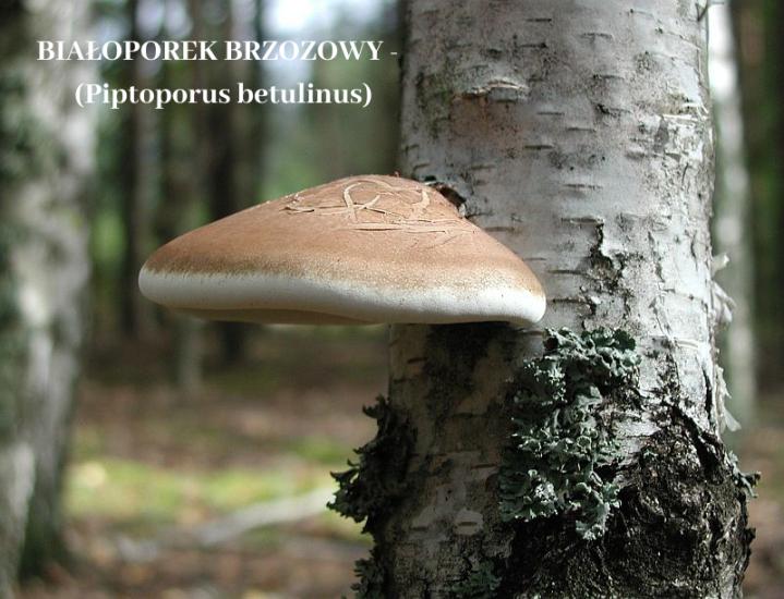 BIAŁOPOREK BRZOZOWY - (Piptoporus betulinus).png