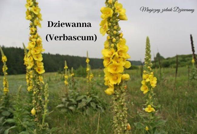 Dziewanna (Verbascum).png