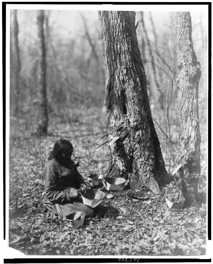 Ojibwe_woman_tapping_for_sugar_maple_syrup.jpg