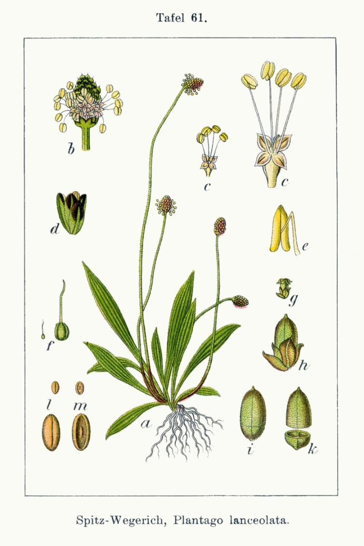 Plantago_lanceolata_Sturm61.jpg