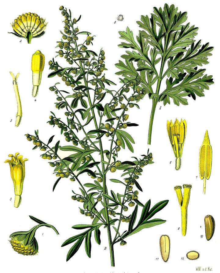 1200px-Artemisia_absinthium_-_Köhler–s_Medizinal-Pflanzen-164