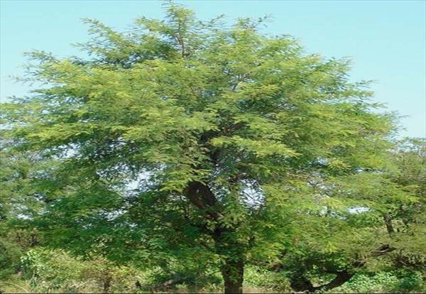 Acacia-catechu3.jpg