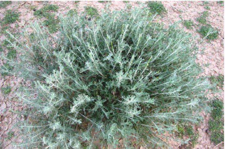 mage-of-Artemisia-herba-alba-plant-from-Boulmane-City-Middle-Atlas-Morocco