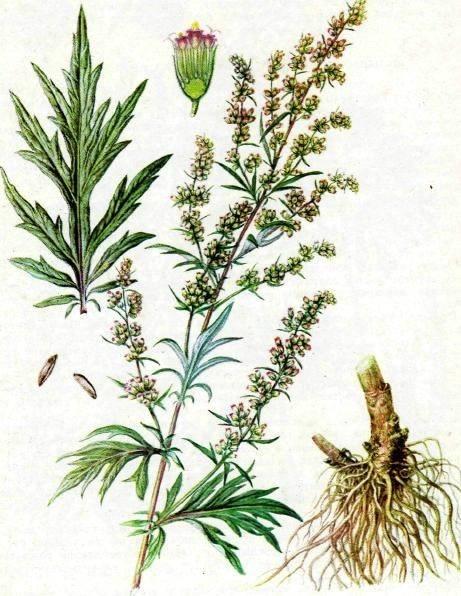 16r-artemisia-vulgaris_syberianhealth