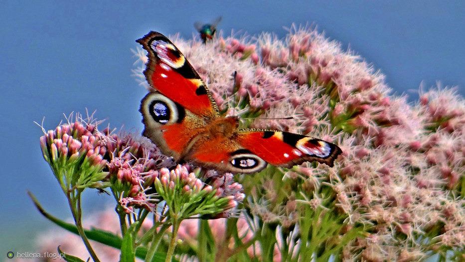 9128357_sadziec-konopiasty-jest-oblegany-przez-motyle-i-inne-owady